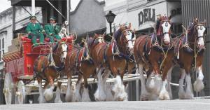 The Budweiser Clydesdales in the Heritage Festival parade. *Photo courtesy of the Tiffin Seneca Heritage Festival's Facebook page.